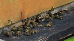 Honey bees on the home apiary. Worker bees. The bees bring honey
