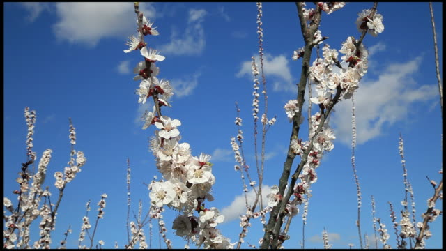 Honey bees pollinating peach (Prunus persica) trees blossom, Ardeche, France