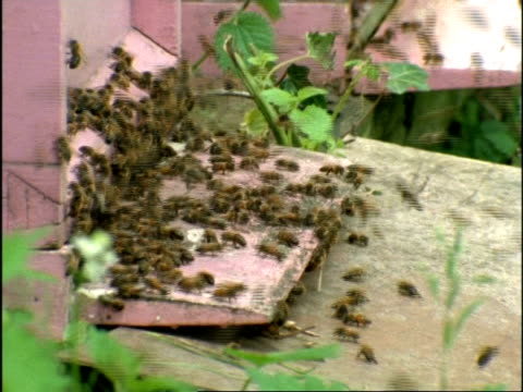 ms honey bees (apis mellifera) swarm at entrance to hive, england - ブンブン鳴る点の映像素材/bロール