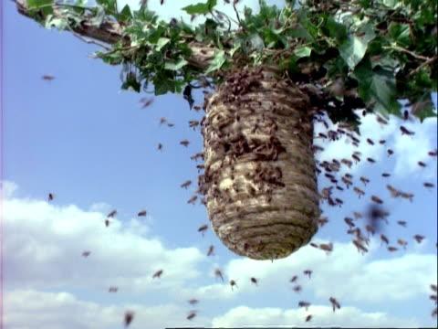 vidéos et rushes de ms honey bees swarm at wicker hive, blue sky background, low angle - ruche