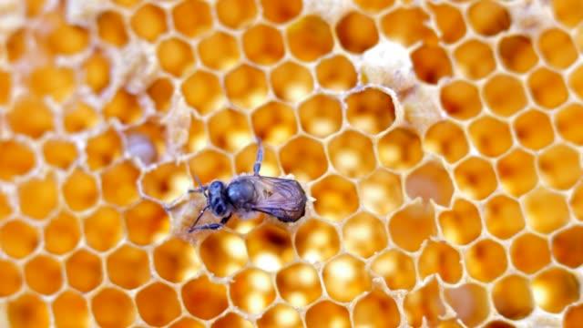 stockvideo's en b-roll-footage met bijen - kammen