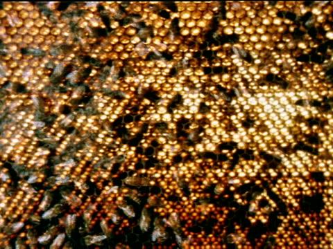 vídeos de stock, filmes e b-roll de ** ms honey bees walking on over comb light turned on behind combworker honey bees in silhouette walking on lighted comb zi cu bees walking over comb... - abelha obreira