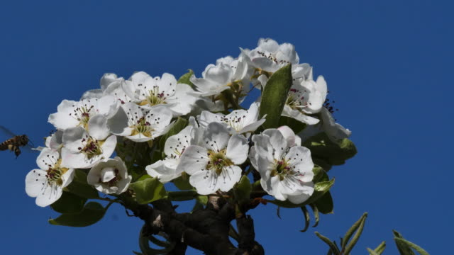 honeybee collect nectar on pear blossom - pear stock videos & royalty-free footage