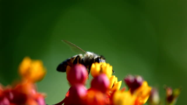 A honeybee crawls over tiny flowers, then flies away. Available in HD.