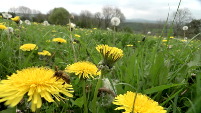 honeybee feeding on dandelion - field stock videos & royalty-free footage