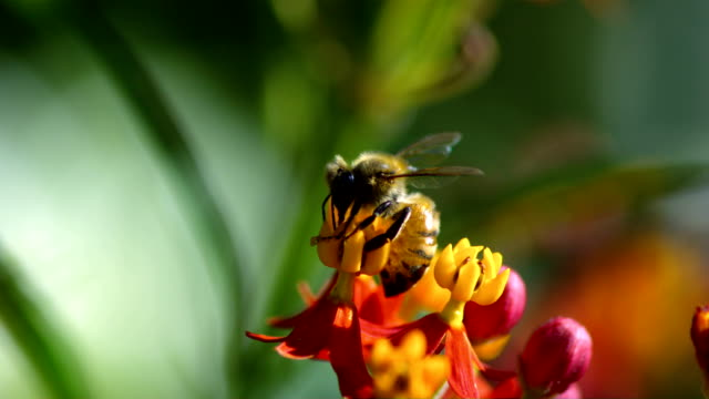 A honeybee flies away from a tiny flower after gathering its nectar. Available in HD.