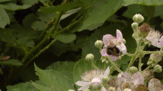 CU Honeybee flying around flowering blackberry bush / Berlin, Germany