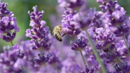 SLOW MOTION MACRO Honeybee gathering nectar in stunning lilac field of lavender