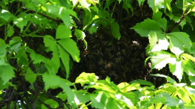 honeybee hive - ブンブン鳴る点の映像素材/bロール