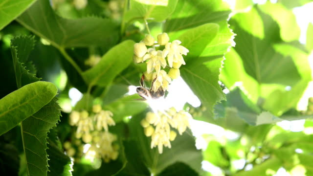 honeybee on linden blossoms - invertebrate stock videos & royalty-free footage