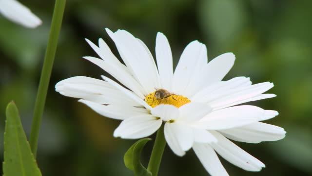 vídeos de stock, filmes e b-roll de honeybee on white daisy - filamento