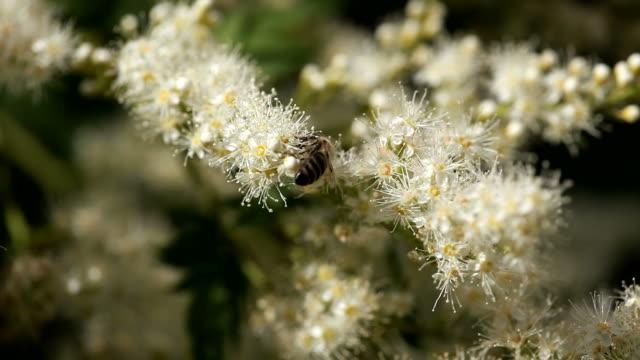 stockvideo's en b-roll-footage met honeybee on white flower - ongewerveld dier