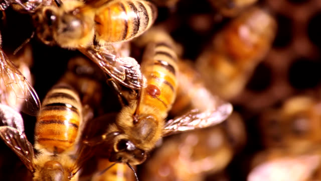Honeybee parasitized by mite