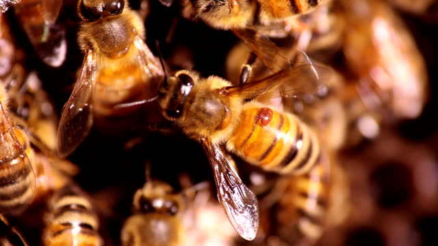 honeybee parasitized by mite - parasitic stock videos and b-roll footage
