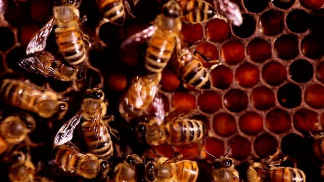 honeybee performing waggle dance - tiergruppe stock-videos und b-roll-filmmaterial