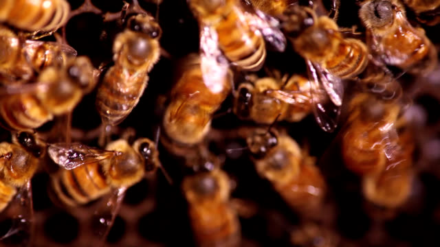 Honeybee performing waggle dance