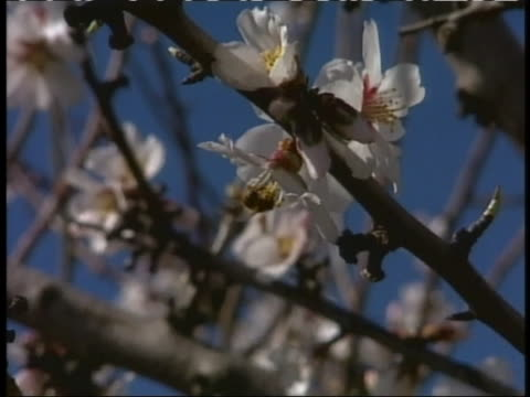 honeybee pollinates a tree blossom. - stamen stock videos & royalty-free footage