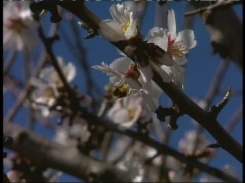 a honeybee pollinates a tree blossom - pistil stock videos & royalty-free footage