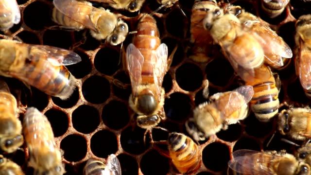 Honeybee queen depositing eggs