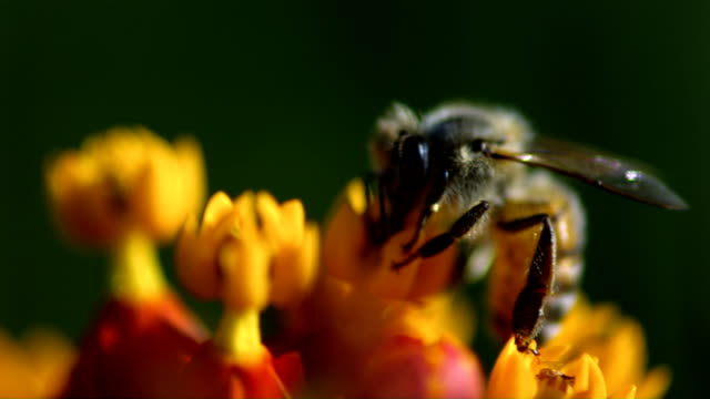 a honeybee sips nectar from a colorful flower. available in hd. - 受粉点の映像素材/bロール