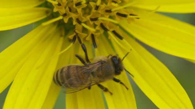 vídeos de stock, filmes e b-roll de honeybee walking on yellow flower, extreme high speed closeup - girassol