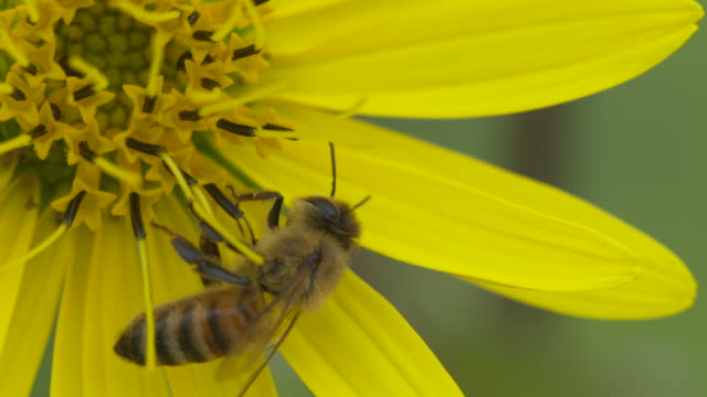vídeos de stock, filmes e b-roll de honeybee walking on yellow flower then falls, extreme high speed closeup - girassol