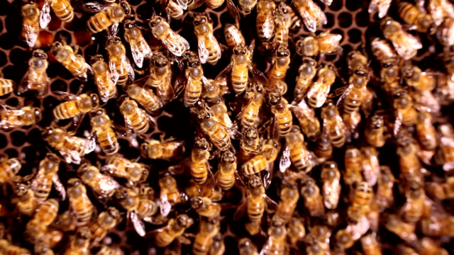 vidéos et rushes de honeybees in domestic hive - abeille