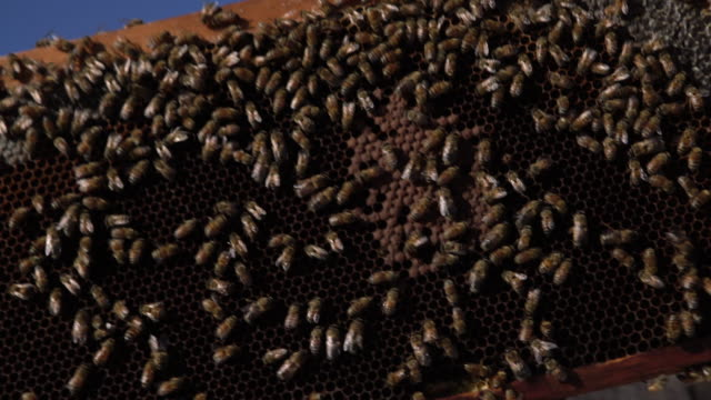 CU Honeybees on a honeycomb