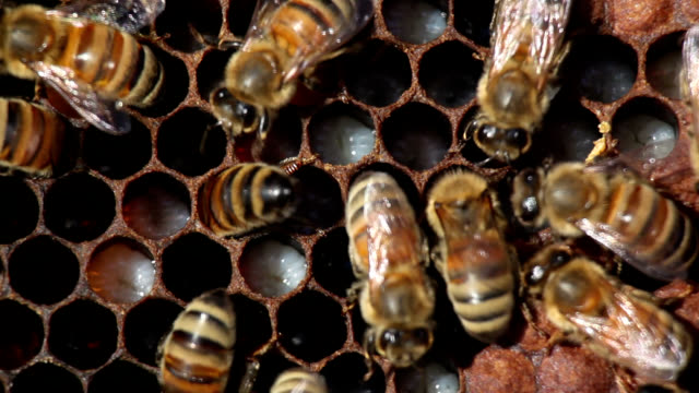 Honeybees tend to brood cells