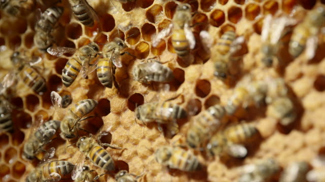honeybees - zoology stock videos & royalty-free footage