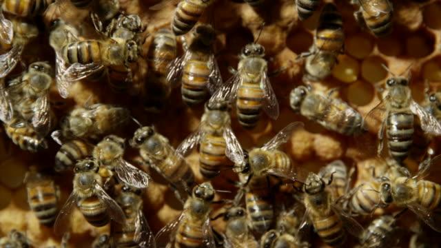 honeybees - 50 sekunder eller längre bildbanksvideor och videomaterial från bakom kulisserna