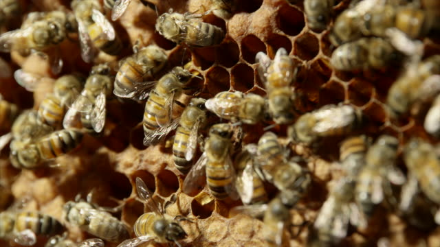 honeybees - tiergruppe stock-videos und b-roll-filmmaterial