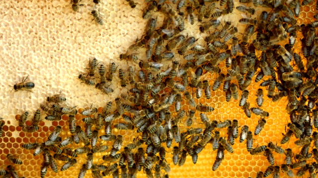 hd: honeycomb full of bees - beehive stock videos & royalty-free footage
