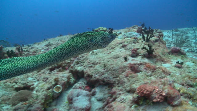 Honeycomb Moray Eel (Gymnothorax favagineus) free swimming over reef, Vaavu Atoll, The Maldives