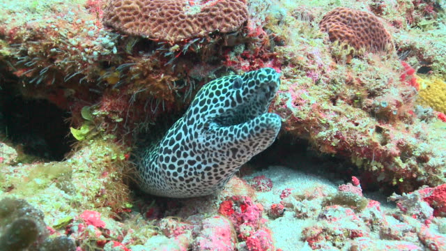 vídeos de stock, filmes e b-roll de honeycomb moray eel (gymnothorax favagineus) peeking out of crevice, vaavu atoll, the maldives - moreia