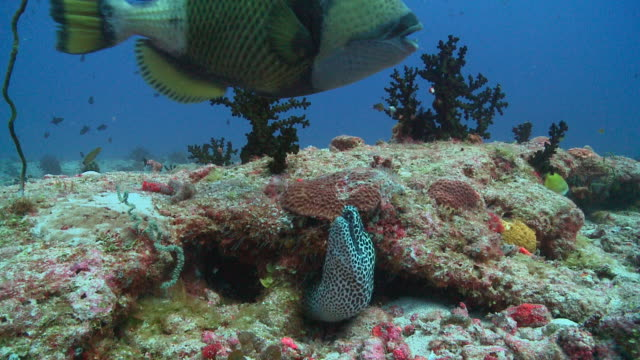 stockvideo's en b-roll-footage met honeycomb moray eel (gymnothorax favagineus) peeking out of crevice, watches titan triggerfish swims by, vaavu atoll, the maldives - dieren in het wild