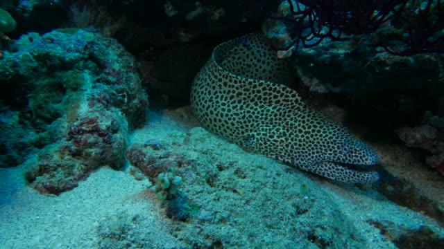 honeycomb moray eel undersea - moray eel stock videos and b-roll footage