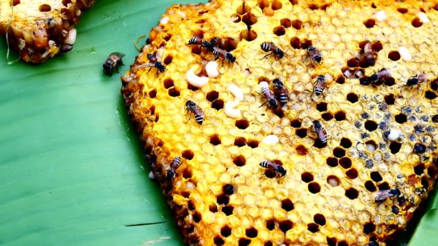 vídeos de stock, filmes e b-roll de favo de mel - abelha obreira