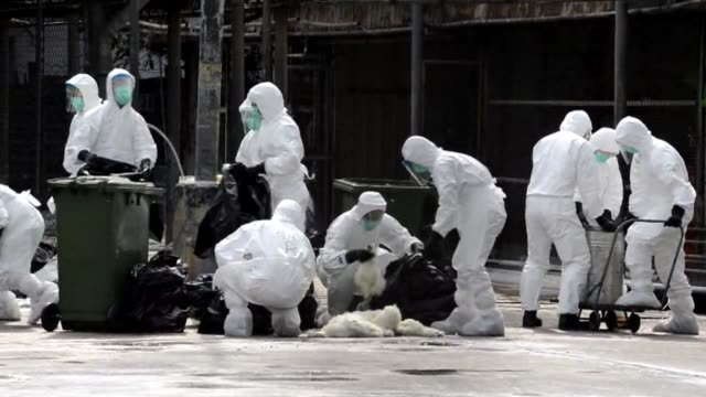stockvideo's en b-roll-footage met hong kong begins a mass cull of 20,000 chickens after the deadly h7n9 bird flu virus was discovered in poultry imported from mainland china. clean :... - vogelpestvirus