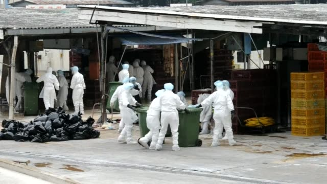 hong kong has culled 17,000 chickens and has suspended live poultry imports for 21 days after three birds tested positive for the deadly h5n1 strain... - avian flu virus stock videos & royalty-free footage