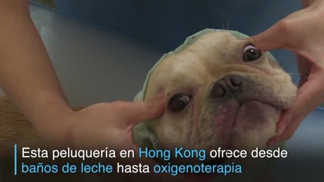 hong kong recibe el ano del perro y los amos lo aprovechan para mimar a sus mascotas con tratamientos que van desde un bano de leche hasta... - pampering stock videos & royalty-free footage