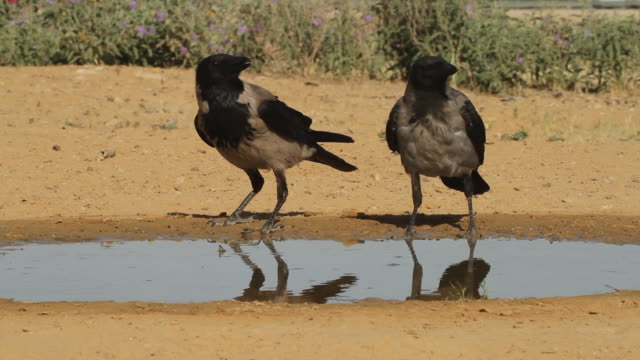 hooded crow (corvus cornix) - 2 crows drinking from water puddle in the desert - raven stock videos & royalty-free footage