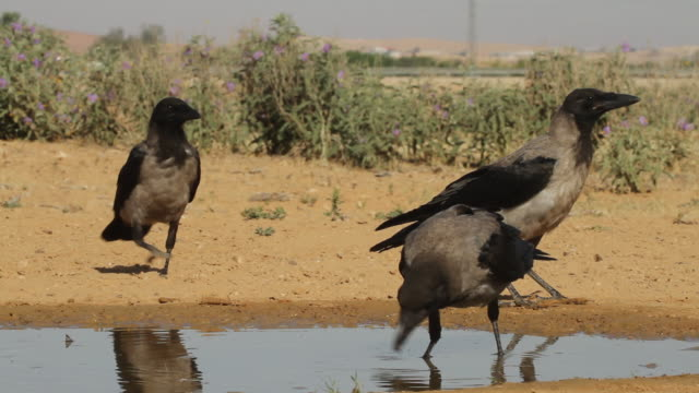 hooded crow (corvus cornix) 3 crows near the water, drinking and feeding - crow stock videos & royalty-free footage