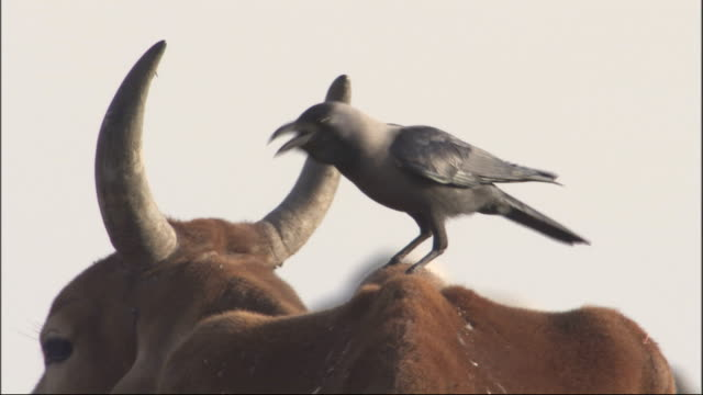 Hooded crow perched on back of horned cattle cow finally shakes it off Available in HD.