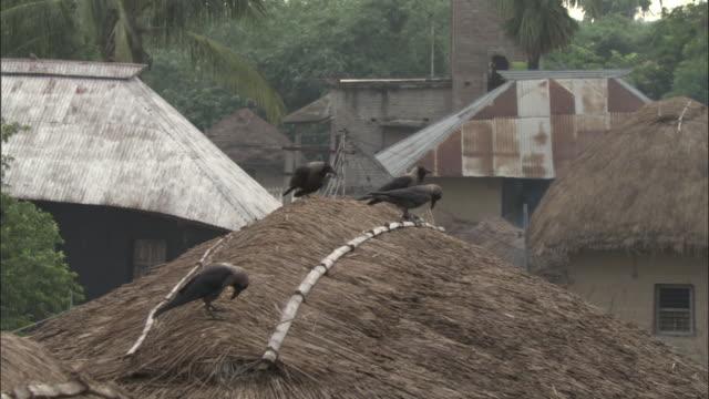 vídeos y material grabado en eventos de stock de hooded crows perch on a thatched roof. available in hd. - techo de paja