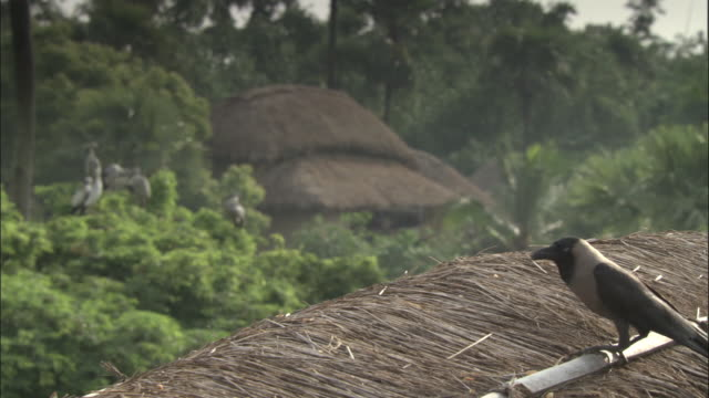 Hooded crows perch on a thatched roof. Available in HD.