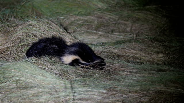 Hooded Skunk, searching for food at night