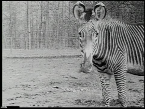hoofs and horns - 5 of 14 - andere clips dieser aufnahmen anzeigen 2344 stock-videos und b-roll-filmmaterial