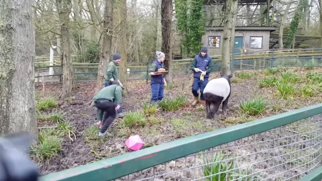 Hoofstock keepers at Port Lympne Reserve in Kent celebrate the 40th birthday of the world's oldest Malayan tapir Kingut was born in 1978 at Ragunan...