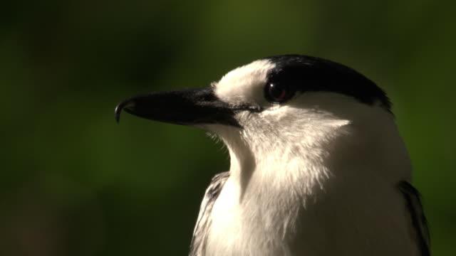 "hook billed vanga (vanga curvirostris) in tree, madagascar - ""bbc natural history"" stock videos & royalty-free footage"